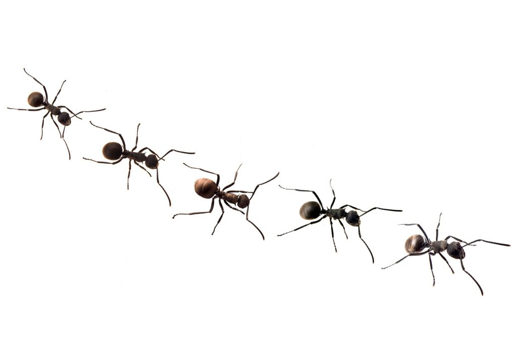 Insect Pest Control : How to Get Rid of Ants Naturally